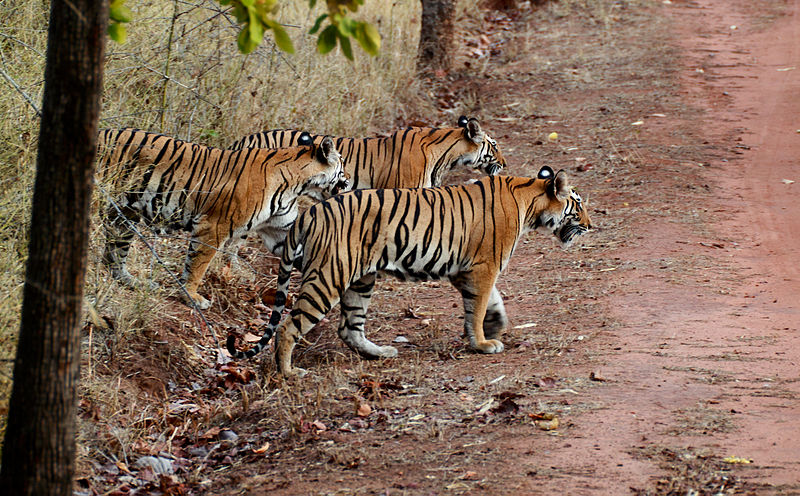 800px-India_Tiger_cubs