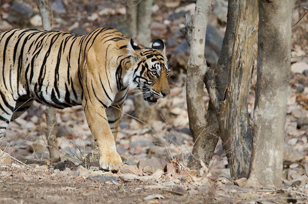 Bubbly,_Female_Tiger_(7168441863)