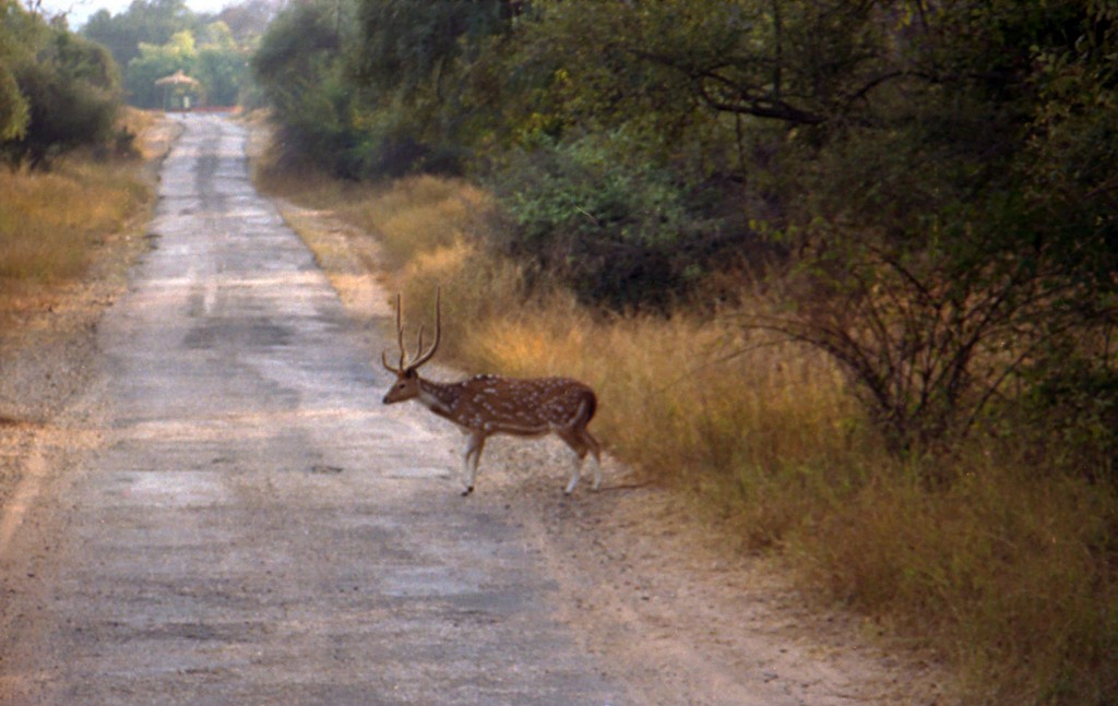 Deer_in_Sariska_Reserve