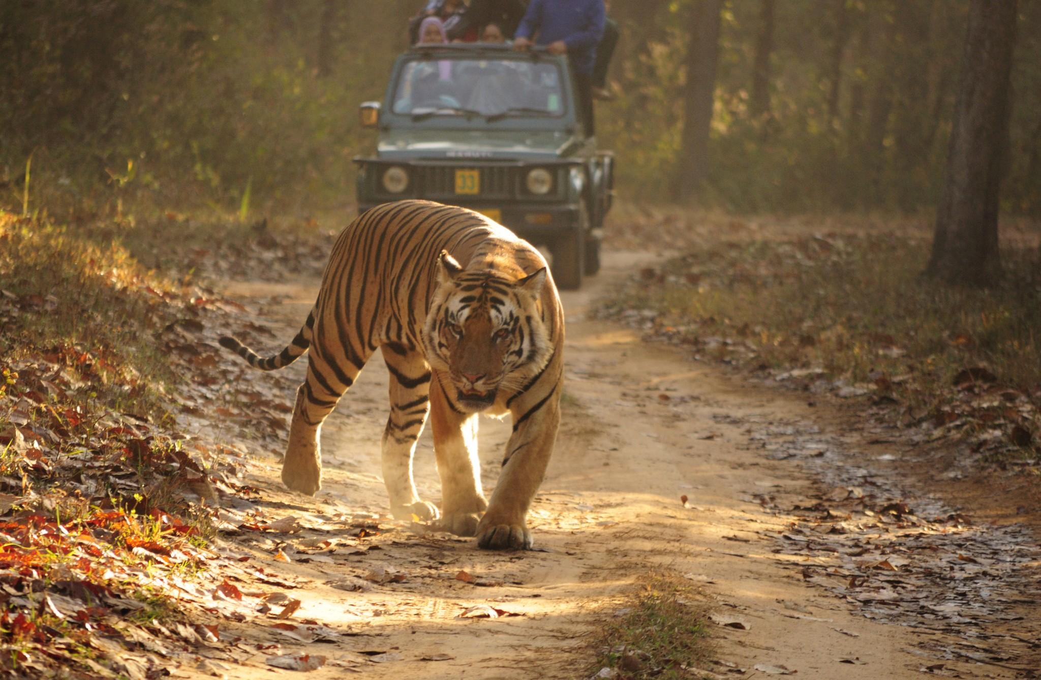 Royal_Bengal_Tiger_Kanha.JPG