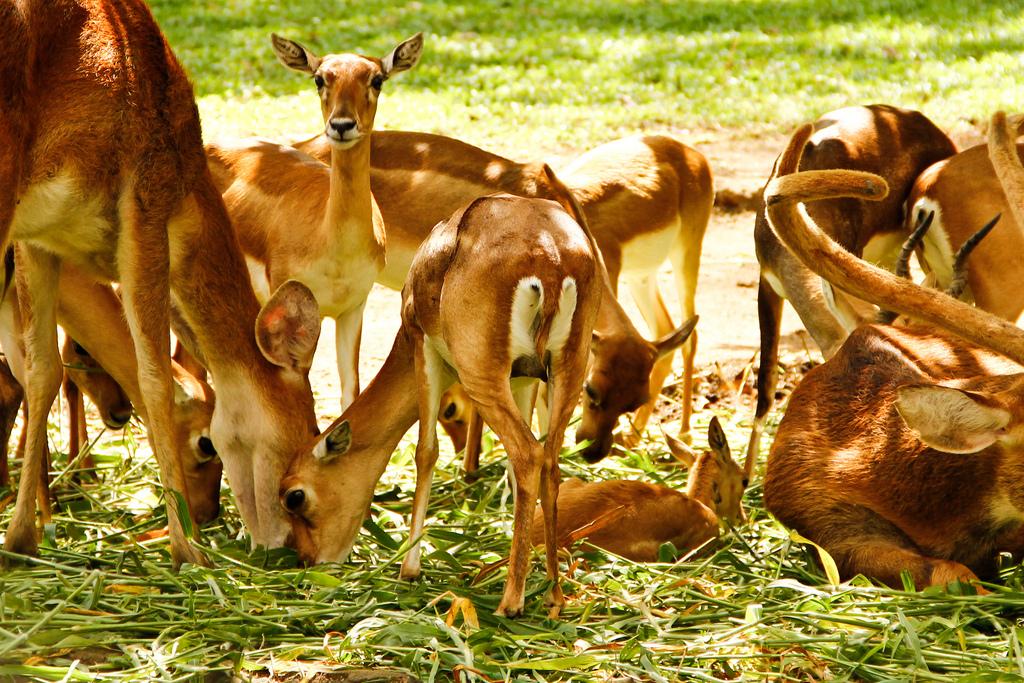 Deer at the National Park (Photo by Natesh Ramasamy)