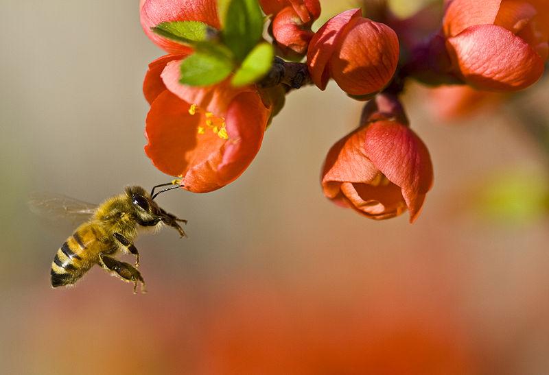 800px-Pollinationn