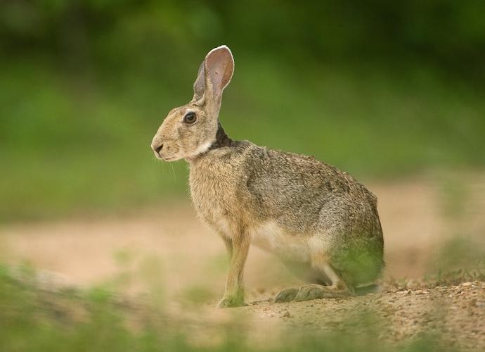 Black-naped hare