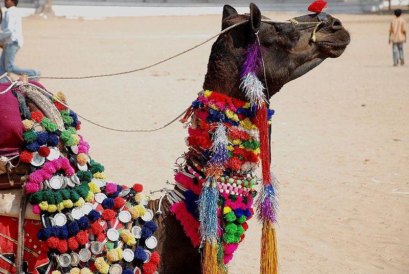 800px-a_decorated_camel_at_pushkar_camel_fair