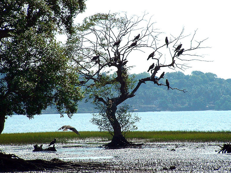 800px-India_Goa_Chapora_River_Colony_of_Birds