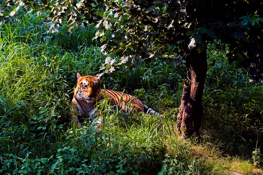 Tigers at Jim Corbett National Park
