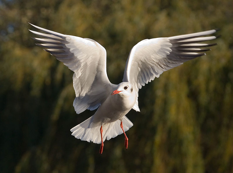 800px-Black-headed_Gull_-_St_James's_Park,_London_-_Nov_2006