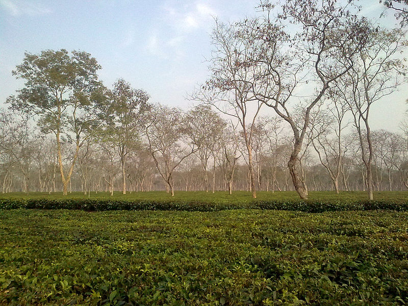 Tea Plantation in Sontipur, Assam (Photo by Amlam Basumanti)