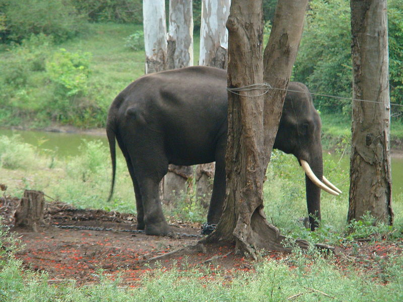 Dubare Elephant Camp (Photo by Dilli2040)