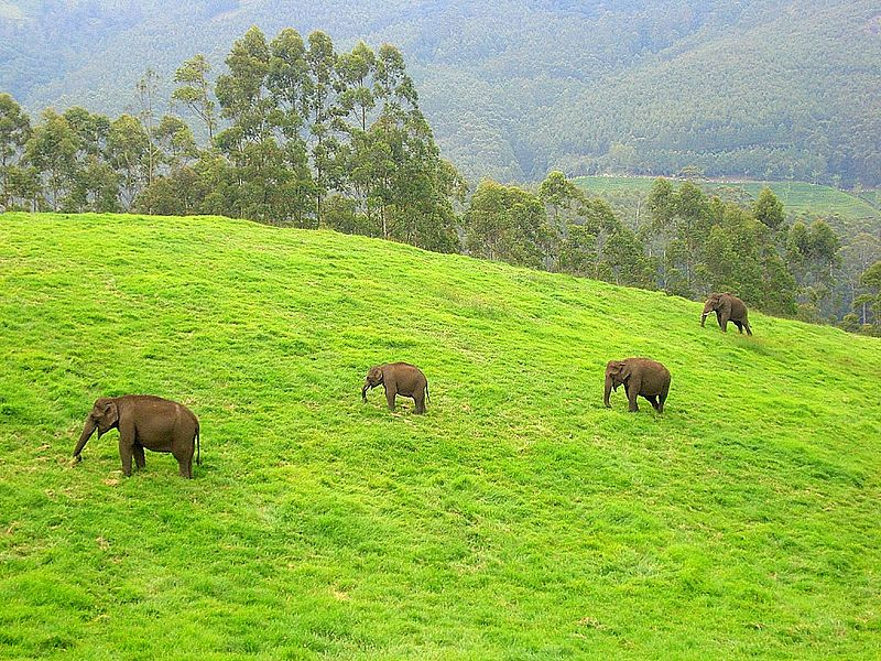 800px-WildElephants,Munnar