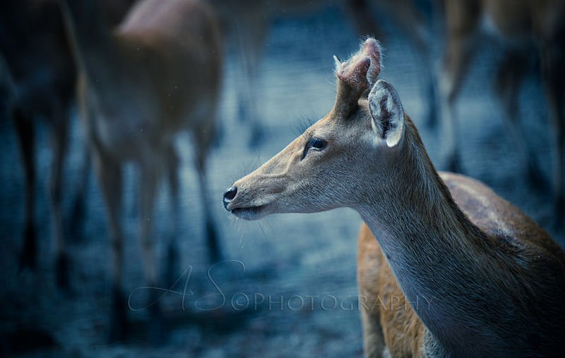 DeerDudhwa_Blue