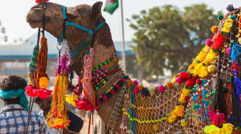 PushkarCamel