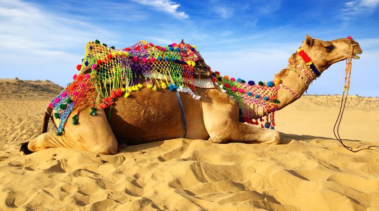 Camel DP