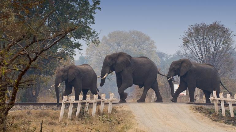African elephants crossing railway in Zambia, Africa.