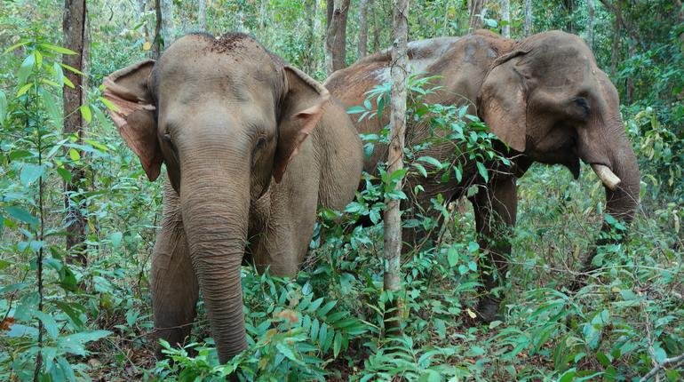 Two elephants in Mondulkiri