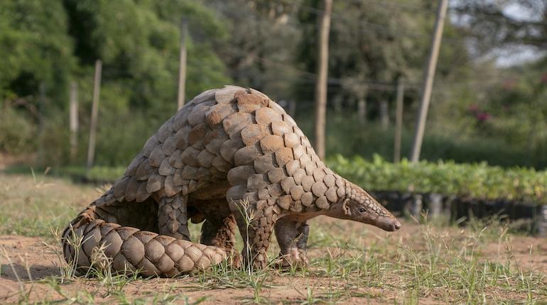 The Indian pangolin, an endangered mammal