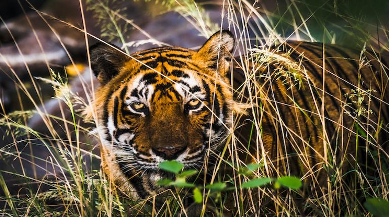 Royal Bengal Tiger (T-24 Ustaad) inside Ranthambore National Park
