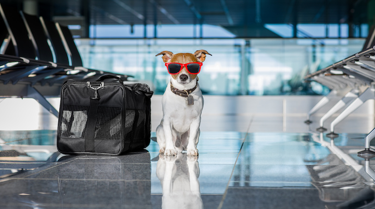 Jack russell terrier wearing red sunglasses waiting beside suitcases in an airport in India