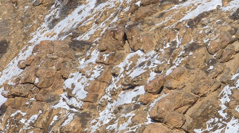snow leopard camouflaged against brown rocks and snow
